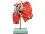 Vairāk informācijas par PLECU muskuļi- 1gab