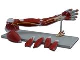 Vairāk informācijas par ROKAS muskuļi -  7 daļas 1gab