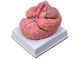 Vairāk informācijas par  smadzenes ar artērijam 1gab